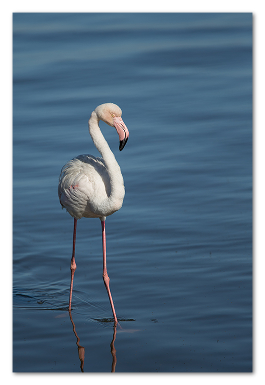 Peter Dawson Photography - Flamingo