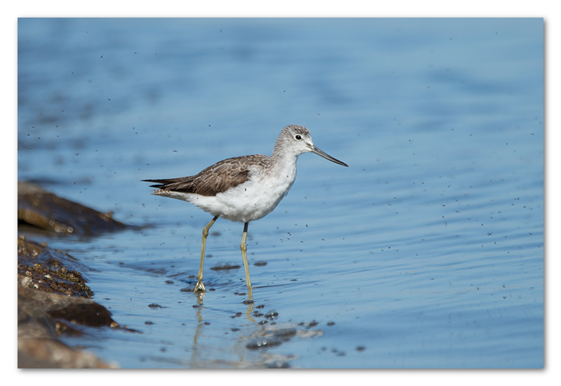 Peter Dawson Photography - common greenshank