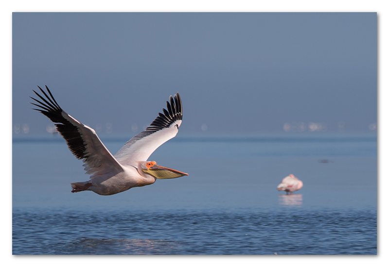 Peter Dawson Photography - Pelican