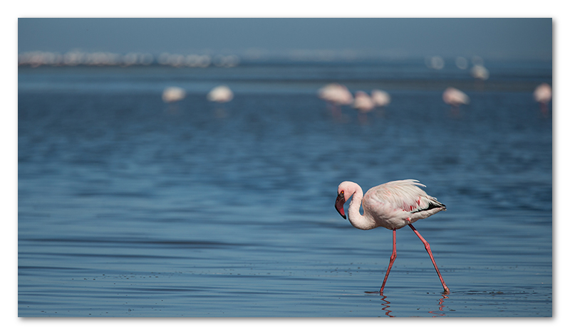 Peter Dawson Photography - Flamingos