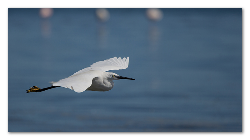 Peter Dawson Photography - little egret