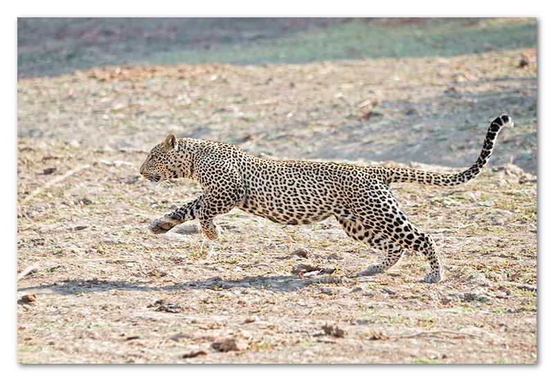 South Luangwa national park flatdogs (41)