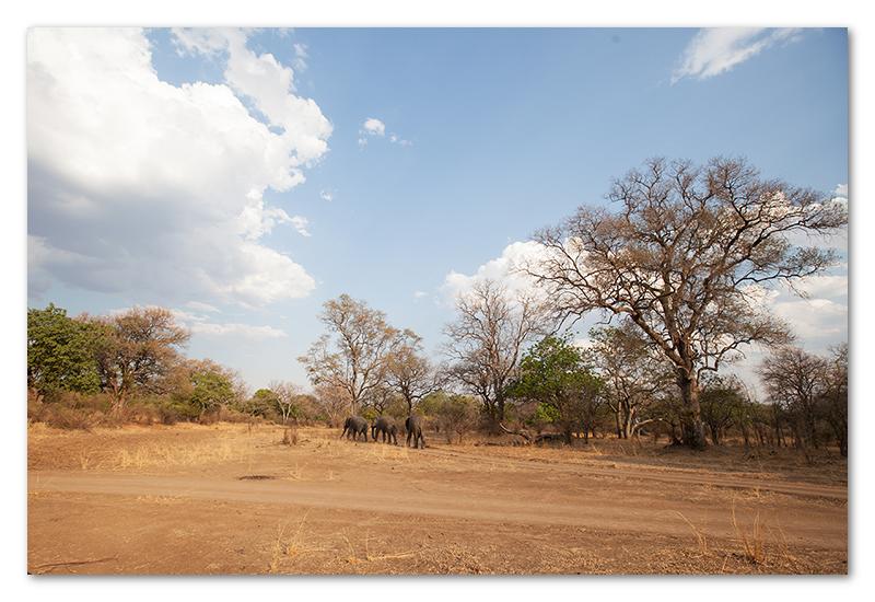South Luangwa national park flatdogs (34)