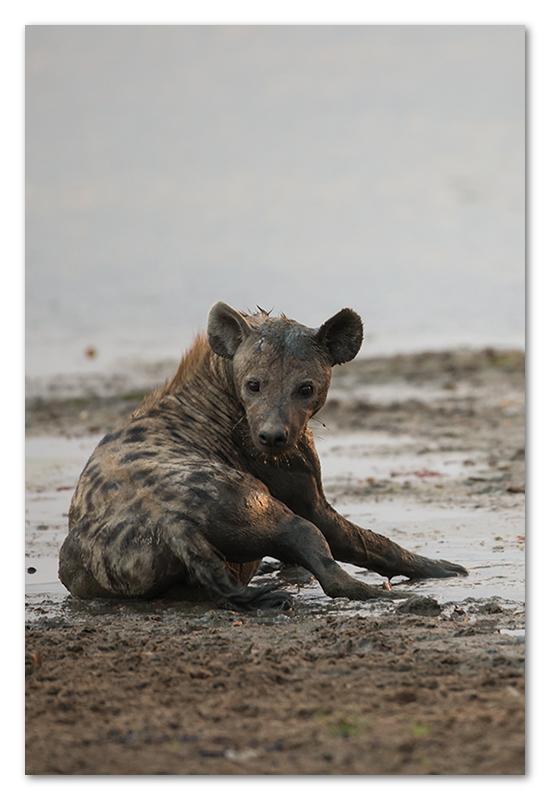 South Luangwa national park flatdogs (32)