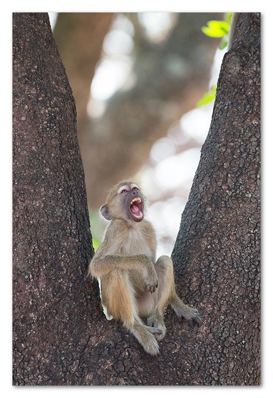 South Luangwa national park flatdogs (30)