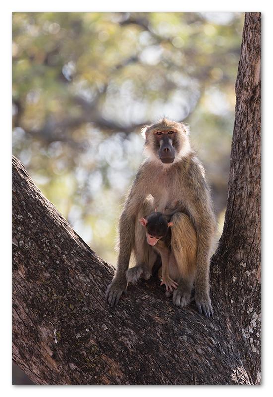 South Luangwa national park flatdogs (29)