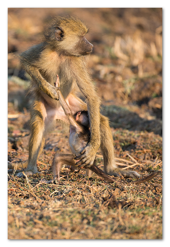 South Luangwa national park flatdogs (19)