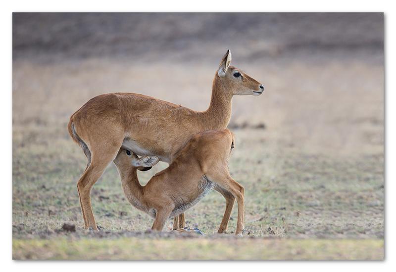 South Luangwa national park flatdogs (18)