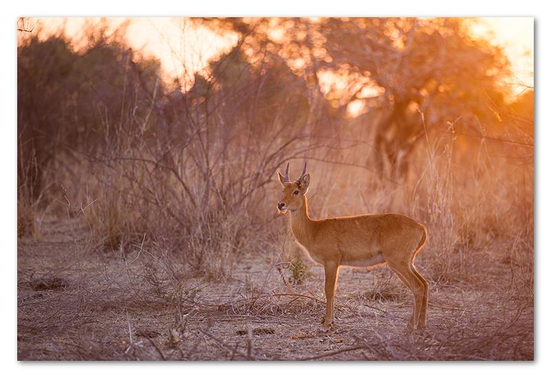 South Luangwa national park flatdogs (13)