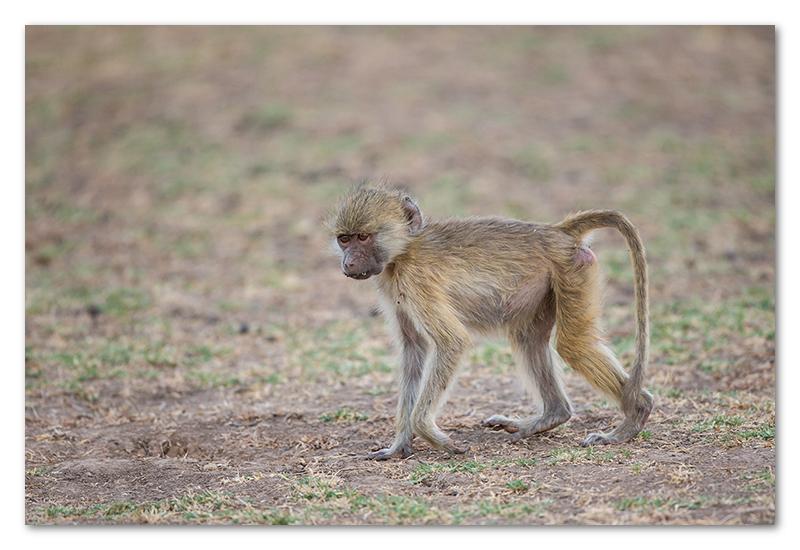 South Luangwa national park flatdogs (8)