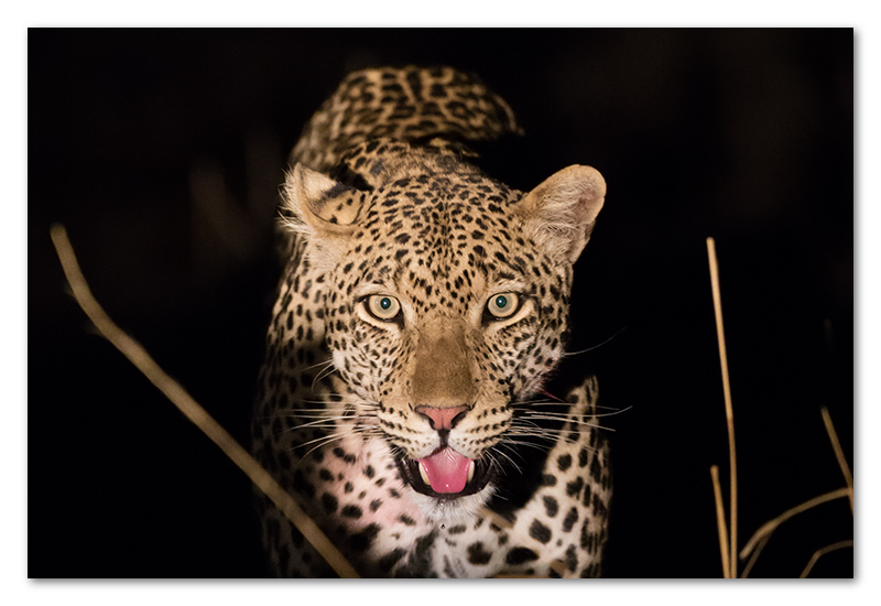 South Luangwa leopard spotlight