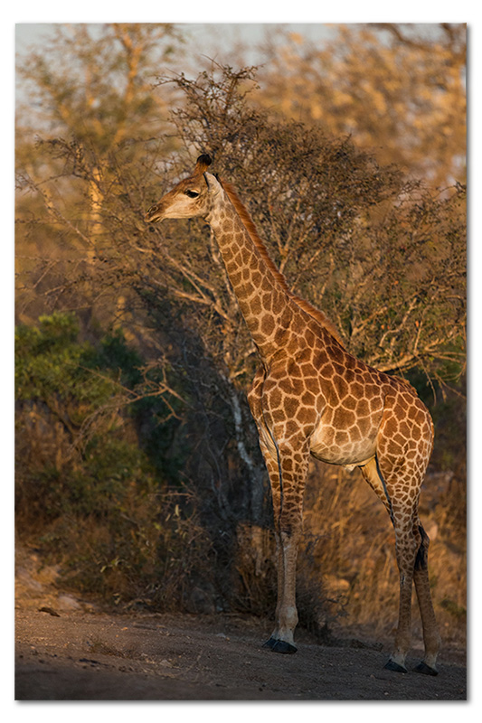 Giraffe in klaserie