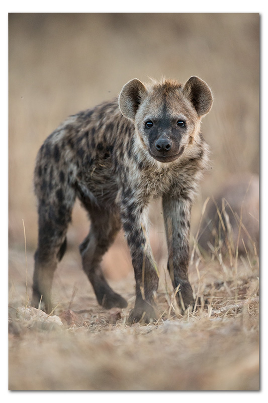 hyena pup in klaserie