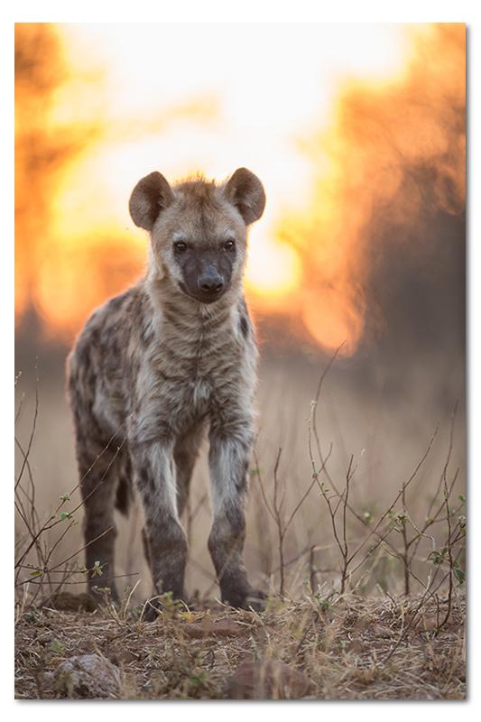 hyena pup backlit suset