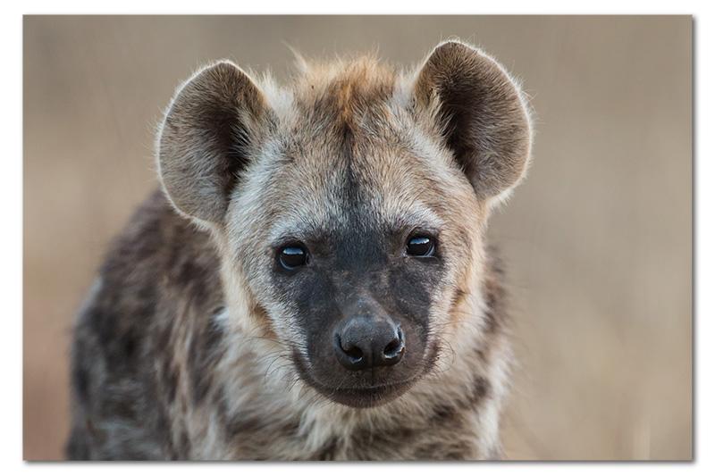 hyena pup headshot